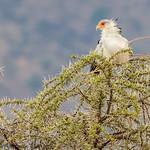 Secretary bird - Serengeti NP- Tanzania-8