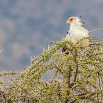 Secretary bird - Serengeti NP- Tanzania-9