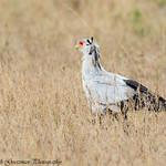 Secretary bird - Serengeti NP- Tanzania-4