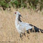 Secretary bird - Serengeti NP- Tanzania-3