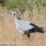 Secretary bird - Serengeti NP- Tanzania