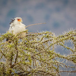Secretary bird - Serengeti NP- Tanzania-5